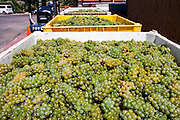 Wine industry grapes are being transported to the winery. Photographed in Israel