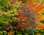 Autumn colors of sugar maples, Acer saccharum, and red sumac, Rhus typhina, growing along the Presque Isle River, Porcupine Mountains Wilderness State Park, U.P. of Michigan.