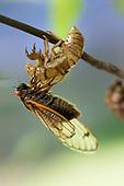 Cicadas emerging