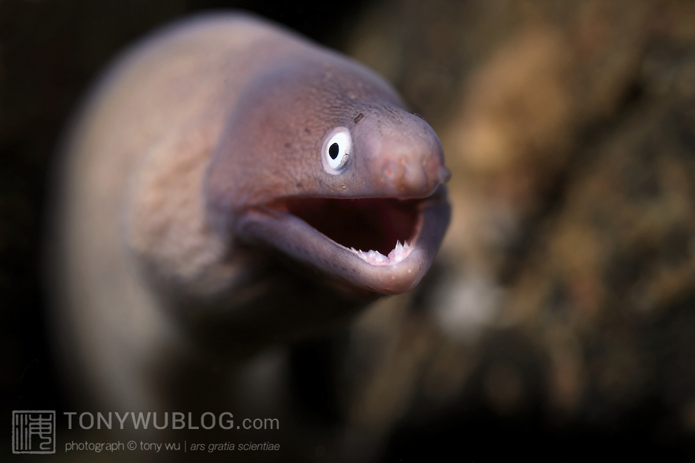 White-eyed moray eel (Siderea thrysoidea) with mouth open. Ambon, Indonesia