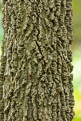 bark of a Hackberry Tree