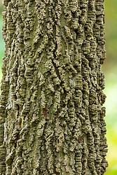bark of a Hackberry Tree