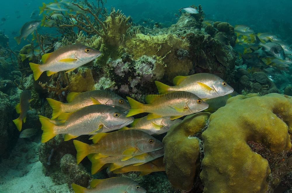 Schoolmaster (Lutjanus apodus)<br /> Hol Chan Marine Reserve<br /> near Ambergris Caye and Caye Caulker<br /> Belize<br /> Central America