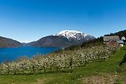 Flowering cherry trees along Utnefjorden looking in direction Granvinsfjorden, Hardanger, Norway in May 2015.