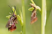 Male digger wasp (Argogorytes mystaceus) pseudocopulating with fly orchid (Ophrys insectifera). Surrey, UK.