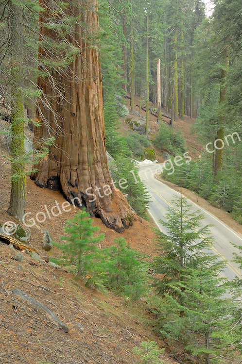 Generals Highway winds through the Giant Forest.  <br />   <br /> Species: Sequoiadendron giganteum