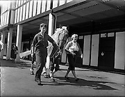 "01/08/1960<br /> 05/08/1960<br /> 01 August 1960<br /> R.D.S Horse Show Dublin (Monday). Miss Kyra Hogg (left) arriving at the Show with her horse ""Rocky"" accompanied by her mother Mrs Margaret Hogg."