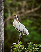 Wood Stork perched on a branch in Big Cypress Swamp. Image taken with a Nikon Df camera and 400 mm f2.8 lens (ISO 800, 400 mm, f/2.8, 1/250 sec).