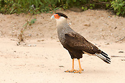 Southern Caracara (Caracara plancus) in the Pantanal in Mato Grosso do Sul, Brazil. This versatile bird of prey is known to both hunt and scavenge, especially by the Transpantaneira, a sand/mud road that cuts the world's largest swamp.