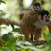 Squirrel Monkey (Saimiri sciureus) in Costa RIca.