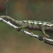 Chameleon, Feeding on insect. Indigenous to Madagascar.