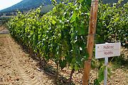 Vines. Roditis vine variety. Biblia Chora Winery, Kokkinohori, Kavala, Macedonia, Greece