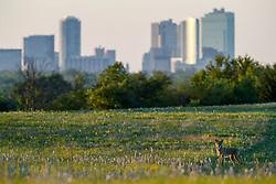 Coyote and downtown skyline at Stella Rowan Prairie, Fort Worth, Texas USA.