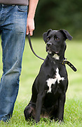 Black & White Labrador Cross Dog, UK, sitting, on lead with owner