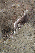 Bighorn sheep ewes on a rocky cliff