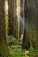 Sunbeam in California Coastal Redwood tree (Sequoia Sempervirens) forest, Rockefeller Grove, Humboldt Redwoods State Park, California