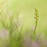 Young Man Orchid (Orchis anthropophora)