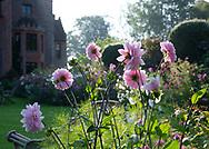 Dahlia 'Karma Prospero' a pale pink Dahlia in a border at Chenies Manor House, Chenies, Rickmansworth, Buckinghamshire, UK