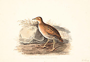 Baillon's crake (Zapornia pusilla here as Porzana pusilla) or the marsh crake, is a small waterbird of the family Rallidae. 18th century watercolor painting by Elizabeth Gwillim. Lady Elizabeth Symonds Gwillim (21 April 1763 – 21 December 1807) was an artist married to Sir Henry Gwillim, Puisne Judge at the Madras high court until 1808. Lady Gwillim painted a series of about 200 watercolours of Indian birds. Produced about 20 years before John James Audubon, her work has been acclaimed for its accuracy and natural postures as they were drawn from observations of the birds in life. She also painted fishes and flowers. McGill University Library and Archives