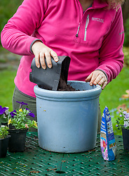 Planting up a container of summer bedding plants. Measuring amount of compost by using a 1 litre pot to fill