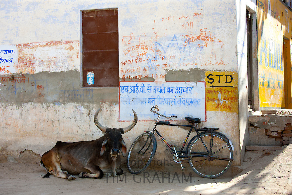 A bull lying near the Hindu Temple in Narlai village in Rajasthan, Northern India