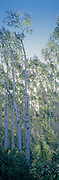 Vertical of a stand of aspen trees with sun shining through the trees in Telluride, Colorado.