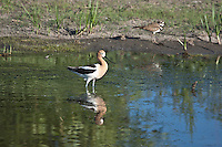 American Avocet (Recurvirostra americana) and a Killdeer.  The Avocet have long, thin upturned bills; black on wings and back; white body.  Females have shorter, more strongly upturned bills.  In the summer the head and neck are a rich cinnamon color.  They use their slim upturned bills to sweep back and forth in shallow water to catch insects, shrimp and other aquatic invertebates.