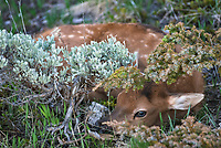 I stumbled upon this little guy, lying motionless near the top of a mountain at 9,000 feet. There was a large herd of more than 100 elk in the valley below. But I wasn't expecting to find this baby elk bedded down until I nearly stepped on it. As snow melts in the spring elk migrate to higher elevations, where cows typically give birth at the end of May. The calves weigh about 35 lbs and are able to stand up within minutes of being born. They are kept hidden away for their first couple of weeks before later rejoining the herd. It was soon apparent where the mother was, as I heard her barking at me from down below. After I left she came back to retrieve her baby.