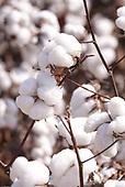 Cotton Harvest 2020