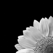 A quarter view of a sunflower done in black and white. Missoula Photographer