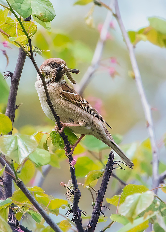 A Male House Sparrow Bring Food To The Young Ones