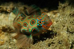 Synchiropus picturatus, LSD-Mandarinfisch, Picturesque Dragonet,  Bali, Gilimanuk, Secret Bay, Indonesien, Indopazifik, Bali, Indonesia Asien, Indo-Pacific Ocean, Asia