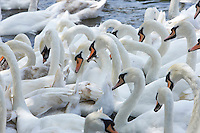 Mute swans being fed at Windsor on the river Thames
