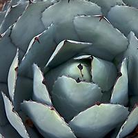 An agave cactus grows in a xeriscape garden in Bishop, California.