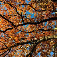 Underneath view of hundred year old oak tree in Damariscotta, Maine. Captured in October.