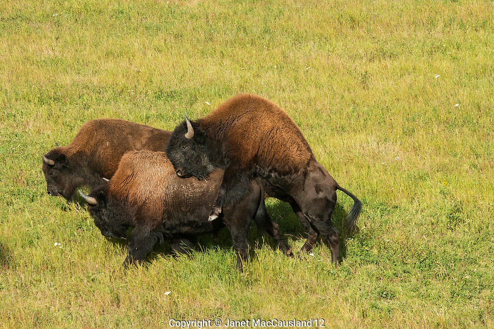 Wood Bison (Bison athabascae) are mating during the fall rut in the Yukon, Canada.