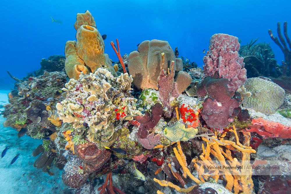 Pipe sponge and reef- Eponge tubulaire et recif (Porifera), Cozumel, Yucatan peninsula, Mexico.
