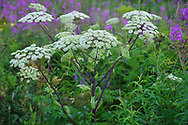 This plant is a Chinese Angelica, Angelica dahurica, in Chinese Bai Zhi. The knowledge about the medical properties of this plant's roots, so-called Dahurican root, has been dated back to Ancient China, already as early as 400 BC. It is from a family called Apiaceae or Umbelliferae that includes many thousands of species, many of which are used by humans as vegetables or herbs and spices, like carrot, parsley, dill, coriander, celery, carroway, cumin, parsnip, chervil, angelica, anise or fennel. Other species in the same family are instead very poisonous.<br /> San He District Forest, near Yichun city, Heilongjiang Province, China