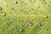 Water drops on green tree leaf
