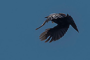 Tui, opening their wings while in-flight, against backdrop of blue sky.