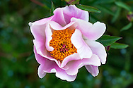 A Peony Flower 'Do Tell' (Paeonia lactiflora) blooms in the garden