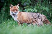 Red fox vixen nursing young