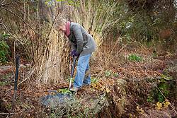 Carol Klein digging up a poppy to take root cuttings