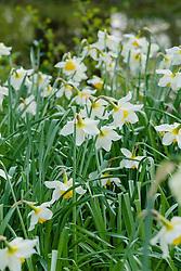 Gecultiveerde narcis, Narcissus CV