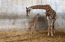 Adis, a three-week-old male South African giraffe calf, stands near his mother at the Jerusalem Biblical zoo on April 10, 2016. EXPA Pictures © 2016, PhotoCredit: EXPA/ Photoshot/ Gil Cohen Magen<br /> <br /> *****ATTENTION - for AUT, SLO, CRO, SRB, BIH, MAZ, SUI only*****