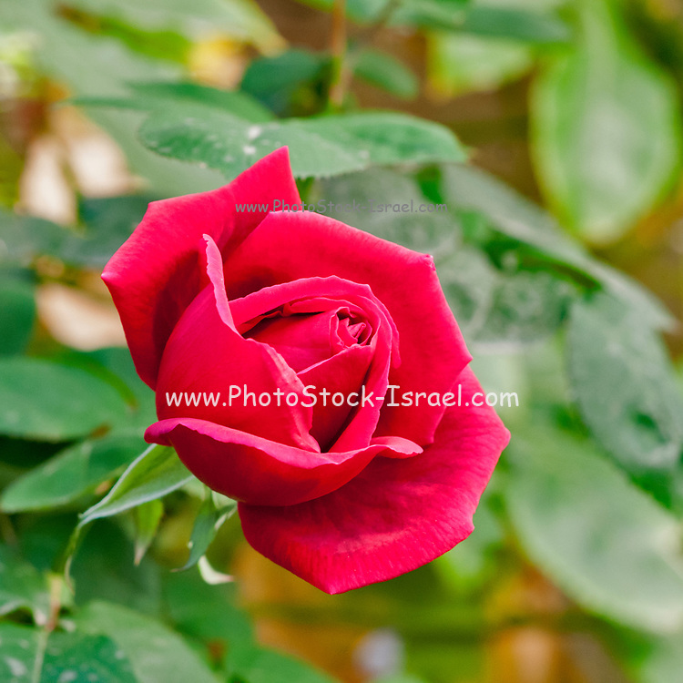 blooming Red rose in a garden