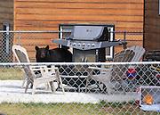 Alaska. Black Bear (Ursus americanus) visiting neighbor's backyard, Anchorage.