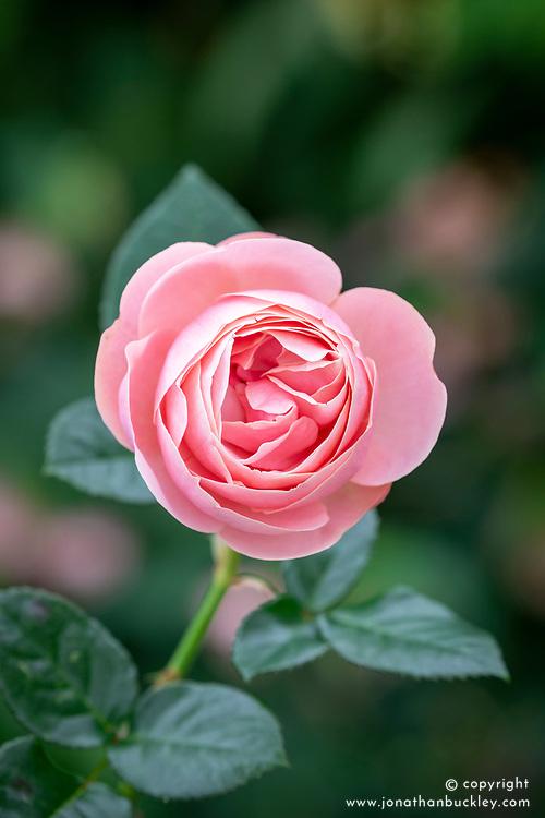 Rosa 'Aphrodite' syn. 'Tan00847' AGM