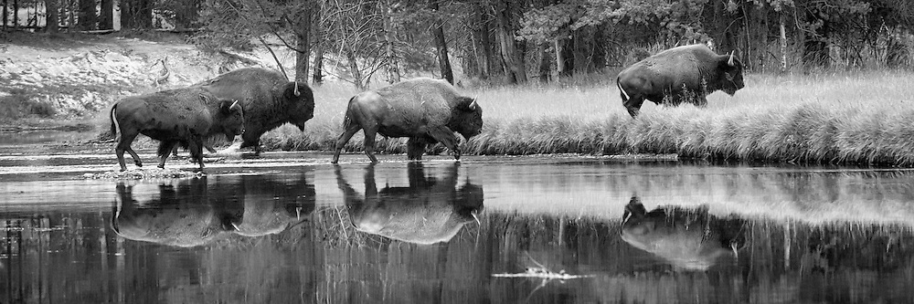 A herd of buffalo make their way across a river in Yellowstone National Park to find another place to graze.