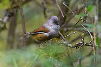 Grey-hooded fulvetta, Fulvetta cinereiceps, sitting in a tree in the humid montane mixed forest, Laba He National Nature Reserve, Sichuan, China